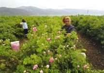 Rosenpflückerinnen im Tal der Rosen. Ein Ausflug mit dem Hotel in Marrakesch La Maison Nomade