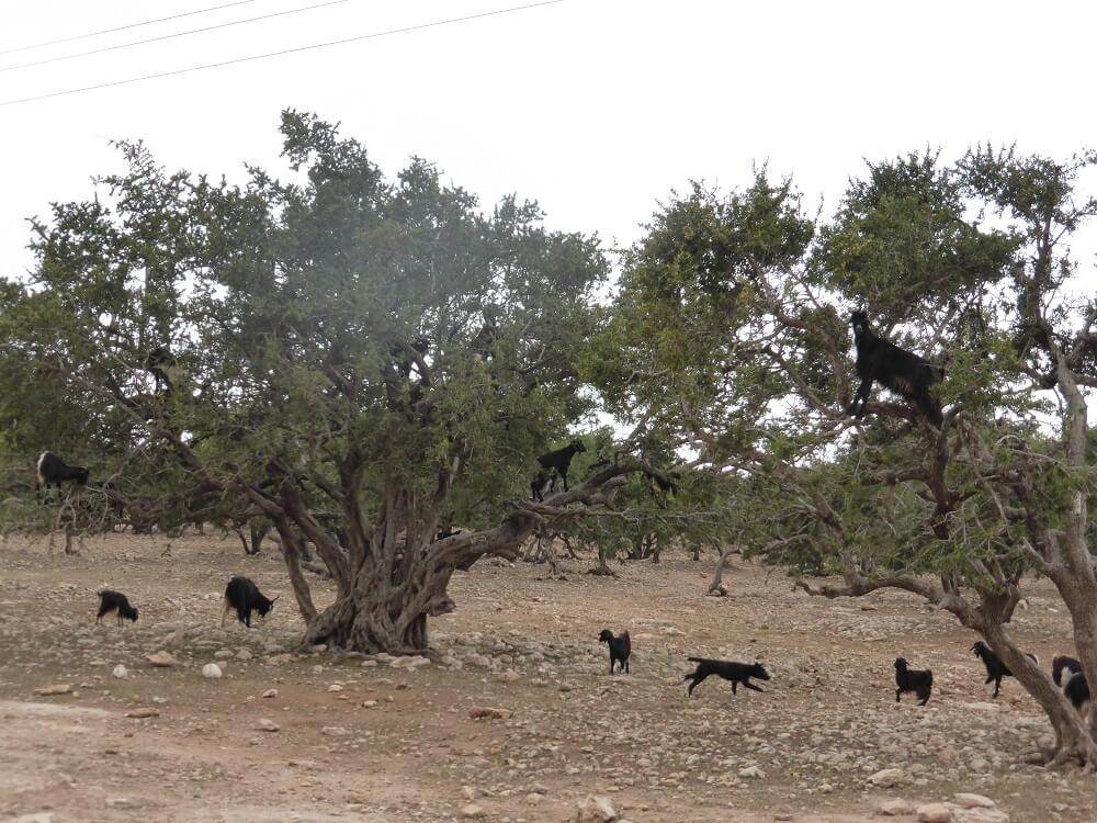 Ziegen in den Arganienbäumen