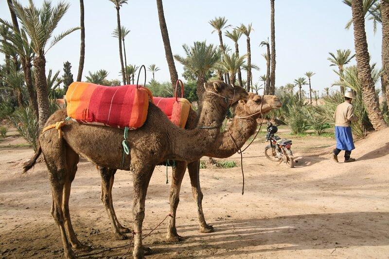 Mit dem Dromedar zum Abflugplatz für Ballonfahrten Marrakesch
