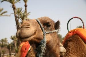 Mein Lieblingsdromedar in der Palmeraie von Marrakesch