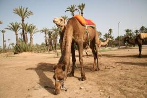 Im Palmenhain der Palmeraie von Marrakesch mit Dromedaren auf Tour
