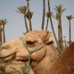 Dromedar Trekking mit dem Riad La Maison Nomade Marrakech
