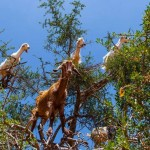 Ziegen im Arganienbaum bei Essaouira