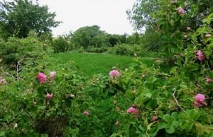 Im Tal der Rosen