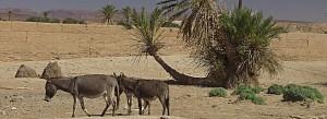 Esel und Palme