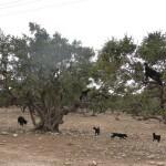 Mit dem Hotel La Maison Nomade vorbei an Arganienbäumen auf der Fahrt nach Essaouira