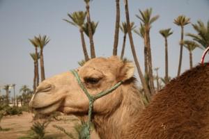 Auf dem Rücken von Dromedaren in das Wüstenbiwak mit dem Hotel in Marrakesch
