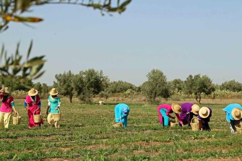 Auf dem Safranfeld mit den Safranpflückerinnen im November
