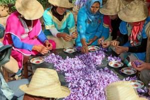 Safranpflückerinnen beim Zupfen der Safranfäden