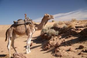 Kamel Marokko