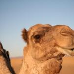 Ein treuer Begleiter durch die Wüste, das Dromedar