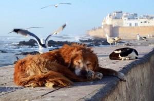 Tiere am Strand von Essaouira