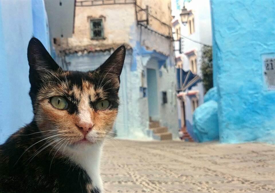 Marokkanische Katze in Chefchaouen