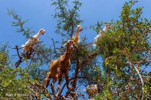ziegen-im-arganienbaum