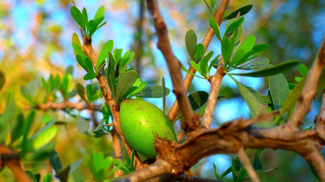 reife Argannuss an einem Baum